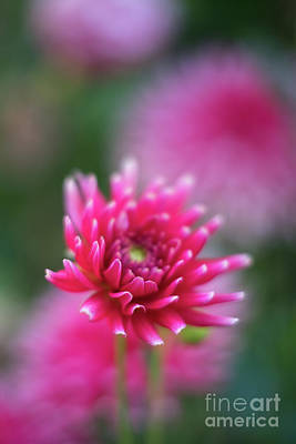 Stamen Photograph - White Tipped Dahlia Beauty by Mike Reid