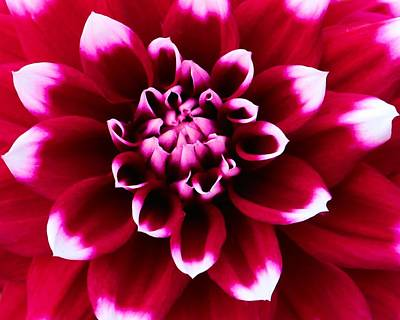 Photograph - White Tipped Scarlet Dahlia by Polly Castor