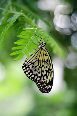 Large Tree Nymph Photograph - White Tree Nymph Butterfly 2 by Marie Hicks