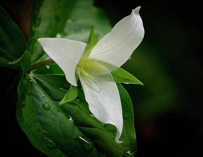 Photograph - White Trillium by Inge Riis McDonald