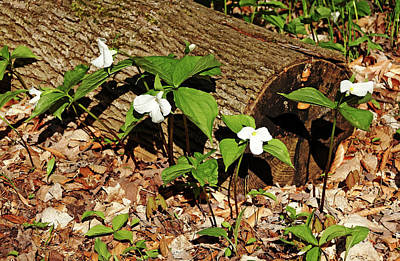 Photograph - White Trilliums by Debbie Oppermann