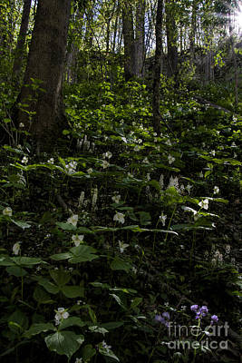 Photograph - White Trilliums Light Up Pigeon Mountain by Barbara Bowen