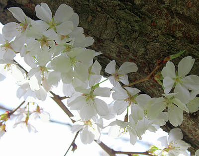 Photograph - Dogwood Branch by Melinda Blackman