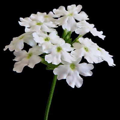 Photograph - White Tukana Verbena Flower by Sandra Foster
