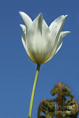 Photograph - White Tulip And Blue Sky by Terri Waters