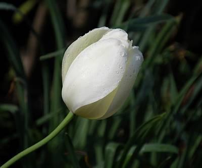 Photograph - White Tulip by Angie Tirado