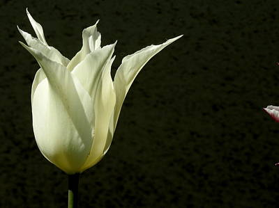 Photograph - White Tulip by Betty-Anne McDonald
