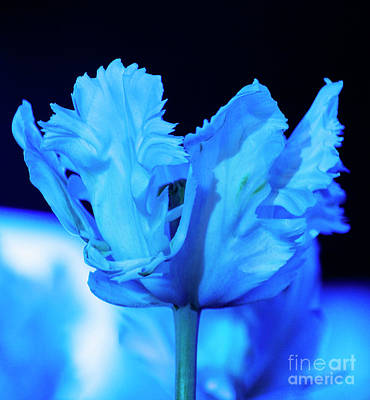 Photograph - White Tulip - Blue by Angela DeFrias