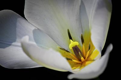 Spring Bulbs Photograph - White Tulip Center by Teresa Mucha