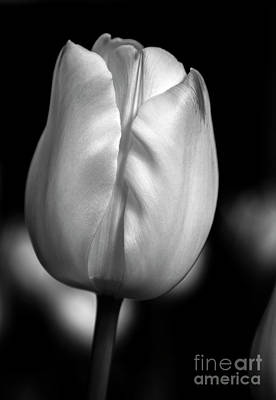 Photograph - White Tulip by Chris Scroggins