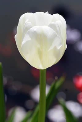 Photograph - White Tulip by Dawn Cavalieri