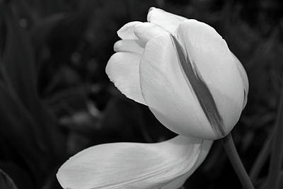 Photograph - White Tulip In Black And White by Nadalyn Larsen