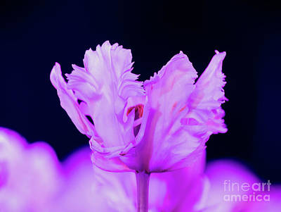 Photograph - White Tulip - Magenta by Angela DeFrias