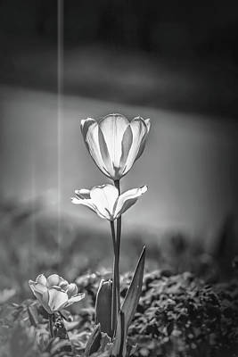 Photograph - White Tulip May 2016 #1 Bw  by Leif Sohlman