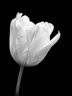 Photograph - White Tulip Open by Gill Billington