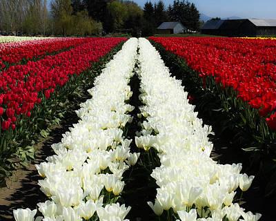 Skagit Digital Art - White Tulip Rows by Mia DeBolt