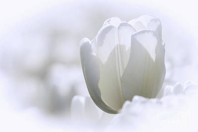 Photograph - White Tulip by Sonya Lang