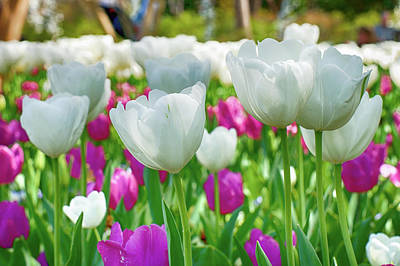 Photograph - White Tulips 71116 by Rospotte Photography