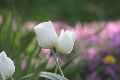 White Tulips Art Print by Angie  Wise