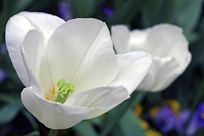 Photograph - White Tulips by Cora Wandel