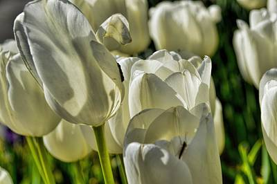 Photograph - White Tulips by Diana Mary Sharpton