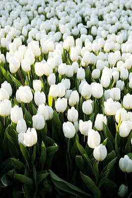 Denmark Photograph - White Tulips In The Garden by Linda Woods