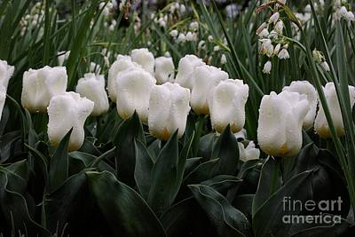 Photograph - White Tulips by Traci Law