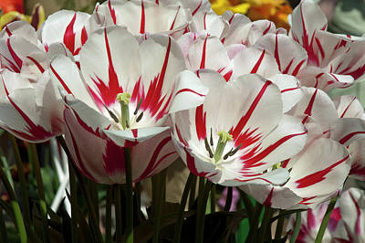 Photograph - White Tulips With Red Stripes by Robert Shard
