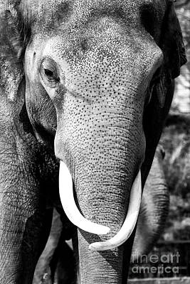 Photograph - White Tusks by John Rizzuto