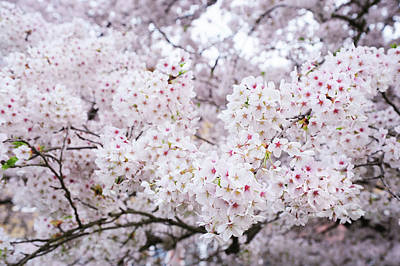 Photograph - White Veil Of Prunus Bloom. Spring Pastels by Jenny Rainbow