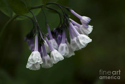 Photograph - White Virginia Bluebells by Andrea Silies