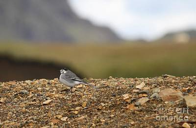 Photograph - White Wagtail Bird by Mary-Lee Sanders