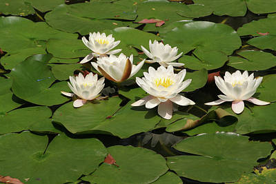 Photograph - White Water Lilies by Art Block Collections