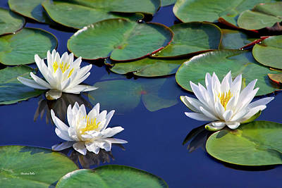Photograph - White Water Lilies by Christina Rollo