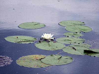 Photograph - White Water Lilies  by Vesna Martinjak
