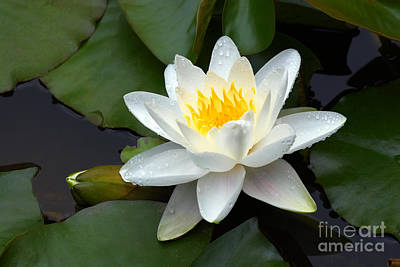 White Water Lily And Bud Art Print by Susan Isakson