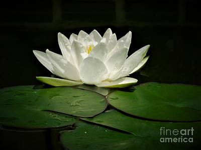 Photograph - White Water Lily by Chad and Stacey Hall