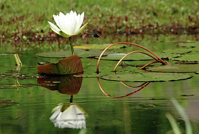 Photograph - White Water Lily by Debbie Oppermann