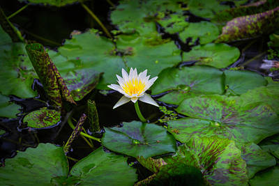 Waterlily Photograph - White Water Lily by Garry Gay