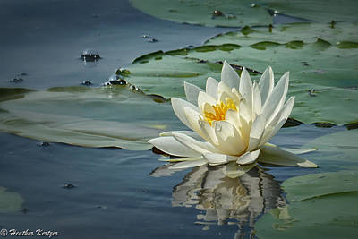Photograph - White Water Lily by Heather Kertzer