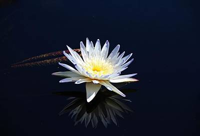 Photograph - White Water Lily- Horizontal by Michiale Schneider