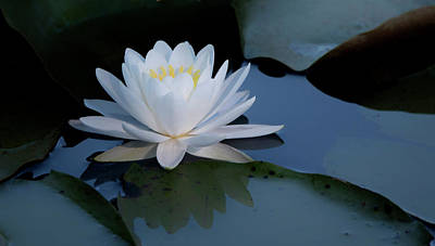 Photograph - White Water Lily by Jack Nevitt