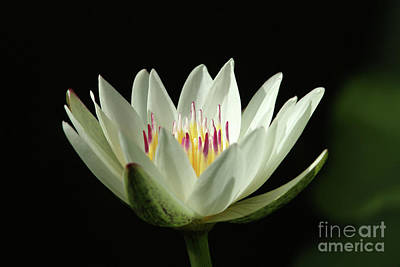 Photograph - White Water Lily by Judy Whitton