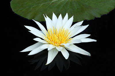 Photograph - White Water Lily by Lou Ford