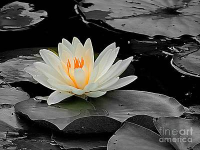 Photograph - White Water Lily by Marcia Lee Jones