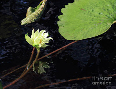 Photograph - White Water Lily by Mary Haber