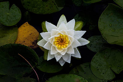 White Water-lily Print by Nathan Larson