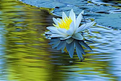 Photograph - White Water Lily - Nymphaea Odorata, Turquoise Bluet - Enallagma by Myer Bornstein