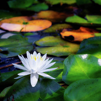 White Water Lilies Photograph - White Water Lily Square by Bill Wakeley