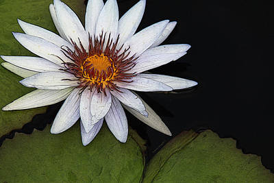 White Water Lily Art Print by Yvonne Wright
